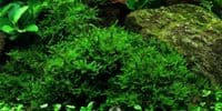 Christmas Moss in Cup - Aquarium Gardens
